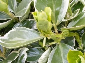 Törpe tarka levelű japán kecskerágó