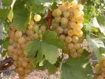 Ezerfürtű fehér borszőlő