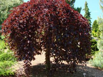 Csüngő vörös bükkfa