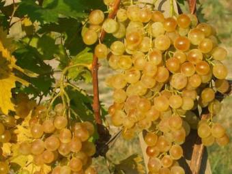 Fanny csemegeszőlő