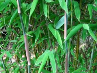 Bambusz változat