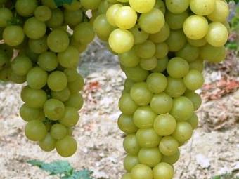 Favorit csemegeszőlő