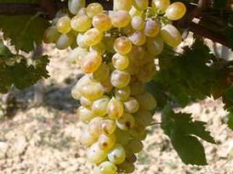 Fehér kecskecsöcsű csemegeszőlő