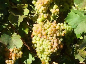Fehér mazsola csemegeszőlő