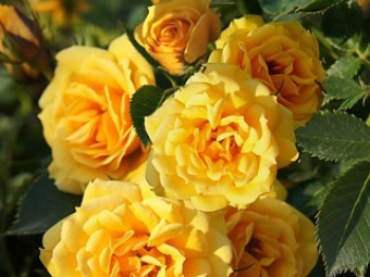 Flashdance poulsen rózsa