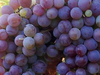 Flóra csemegeszőlő /rezisztens/