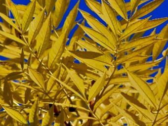Csüngő aranykőris