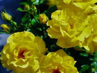 Friesia floribunda