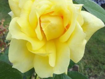 Golden parfume tearózsa