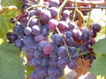 Hamburgi muskotály csemegeszőlő