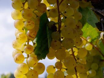 Hárslevelű fehér borszőlő