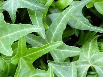 Szeldelt levelű borostyán