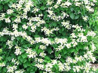 Japán kúszó hortenzia