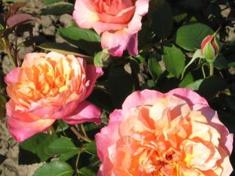 Indira polyantha rózsa