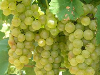 Itália csemegeszőlő