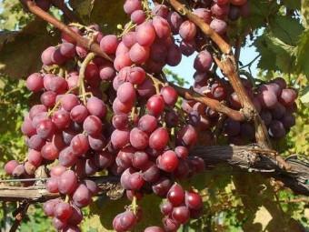 Izabella csemegeszőlő