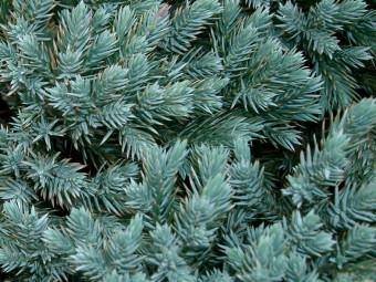 Kék törpe boróka