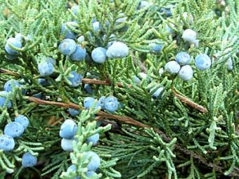 Kék kínai boróka