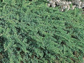 Terülő boróka 'Greenmantle' változat
