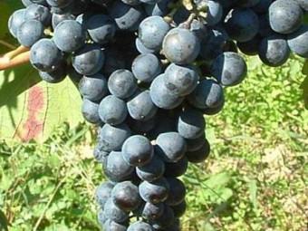 Kékfrankos vörös borszőlő