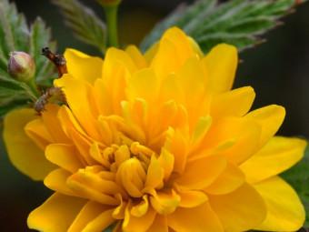 Boglárkacserje 'Pleniflora' változat