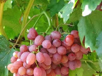 Kismis Lucsüsztüj csemegeszőlő