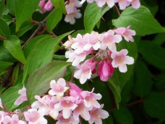 Viráglonc változat