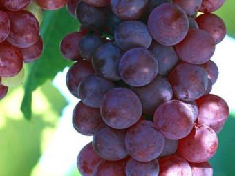 Kósa csemegeszőlő
