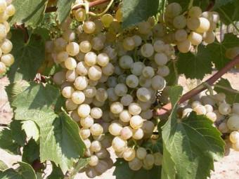 Kozma Pálné muskotály csemegeszőlő