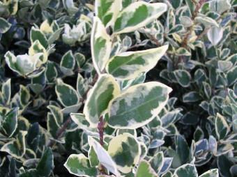 Fagyal texanum 'Argenteum' változat