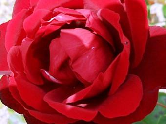 Lilli Marlen polyantha rózsa