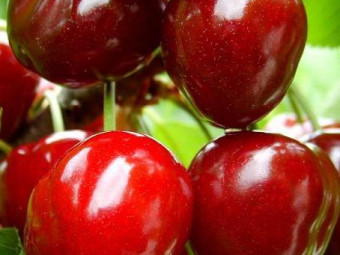 Linda cseresznye