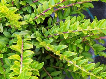 Örökzöld kúszólonc