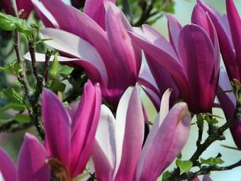 Bíborszínű liliomfa