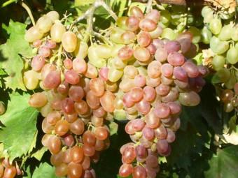 Rózsaszín mazsola csemegeszőlő