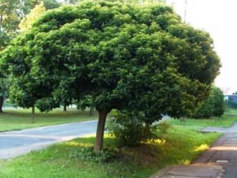 Fehér eperfa 'Fegyvernekiana' változat