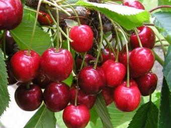Nagykörű cseresznye