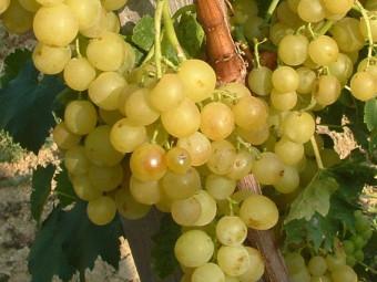 Narancsízű csemegeszőlő