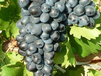 Nero csemegeszőlő /rezisztens/