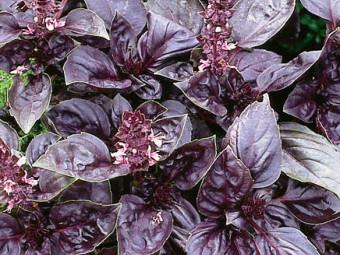 Bazsalikom lila levelű változat