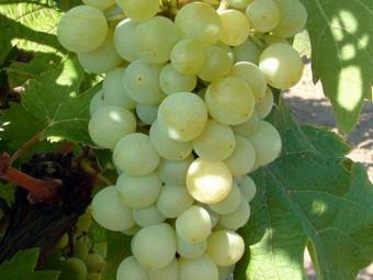 Opus csemegeszőlő