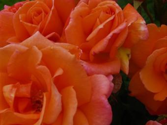 Orange futórózsa