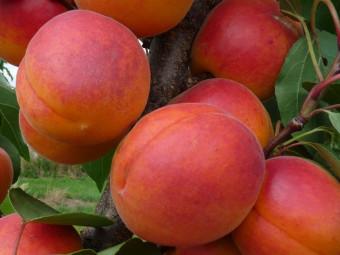 Orangered kajszi /rezisztens/