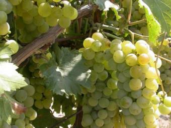 Ottonel muskotály fehér borszőlő