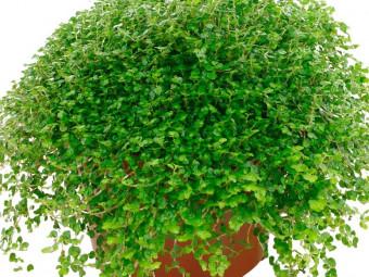 Párnavirág