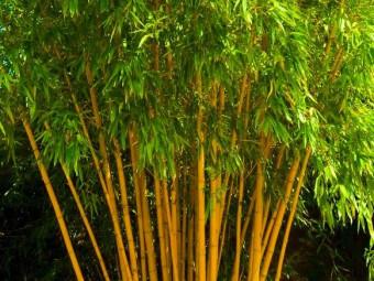 Aranyfényű bambusz