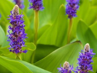 Lándzsalevelű sellővirág