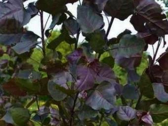 Oszlopos vörös levelű nyárfa