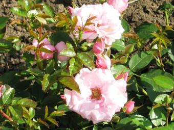 Regéc polyantha rózsa