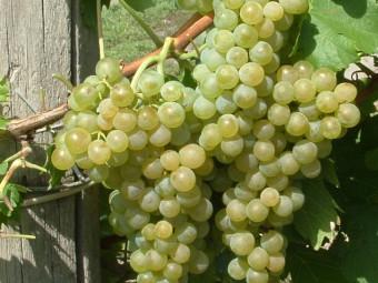 Rizlingszilváni fehér borszőlő